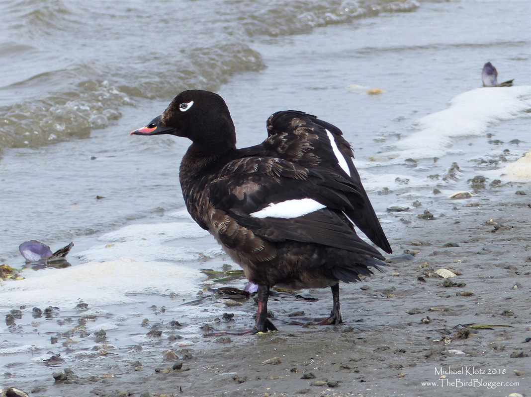 White-winged Scoter - Crescent Beach, BC  This ocean loving duck made a landing on Blackie Spit in Surrey. I have never seen a Scoter on land and they usually are very social. This bird may have not been feeling well so hauled out. I couldn't find anything wrong with the bird so sat an watched him preen for a bit and then happily take off towards the middle of the Bay. On some of the pre-flight warm-up I was lucky enough to catch both wing bars. I always marvel at Scoters ability to eat the shellfish shell and all, digesting the shells in lest than a couple hours.       Michael W Klotz - www.TheBirdBlogger.com