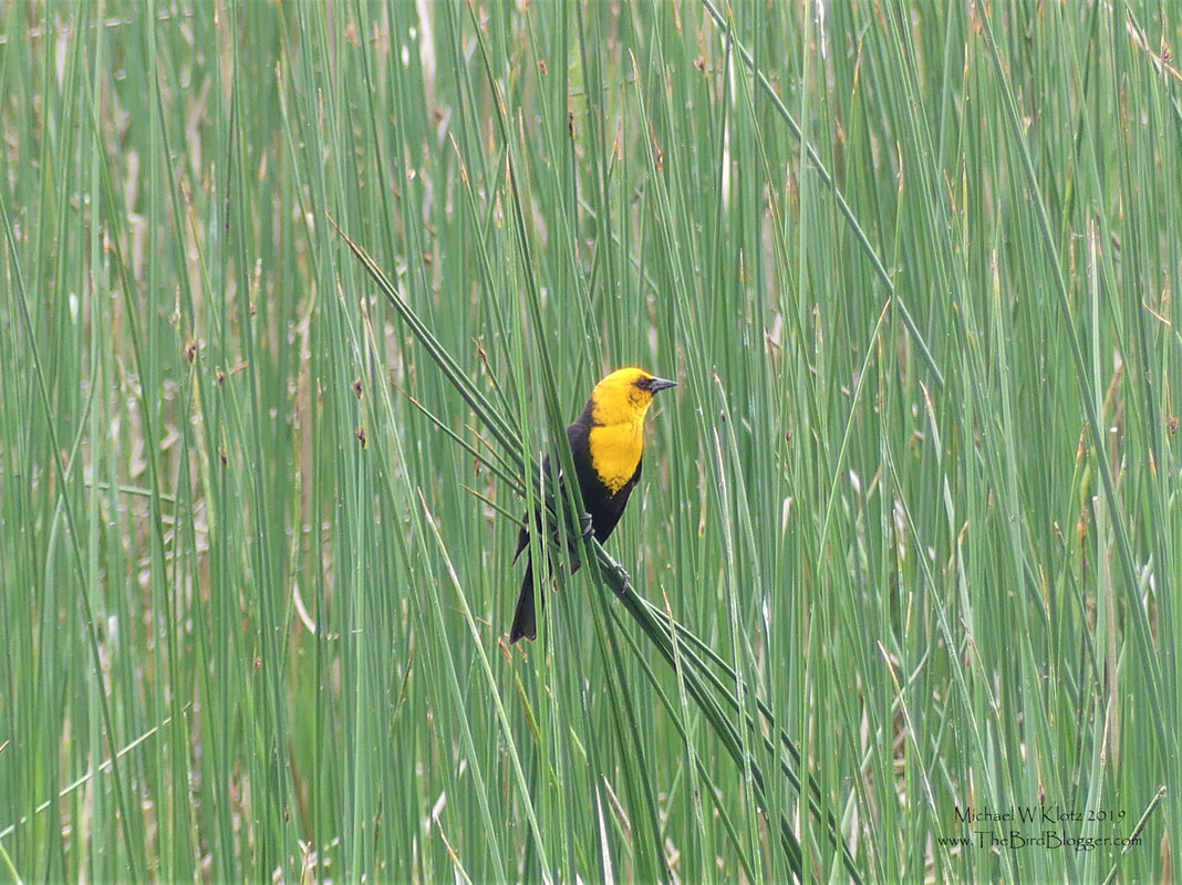 Yellow-headed Blackbird - Meadow Lake, BC         You can hear these blackbirds before you see them with a very non-melodic song. The visual on the other hand is very striking with the males hooded in yellow with a contrast to the black on the rest of their body. This was taken along the side of Meadow Lake Road just before heading to the Fraser Canyon.                  Michael W Klotz 2019 - www.TheBirdBlogger.com